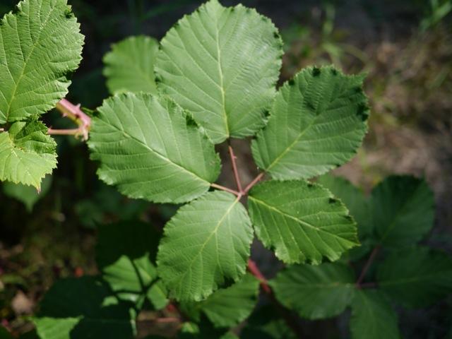 Rubus armeniacus leaves.