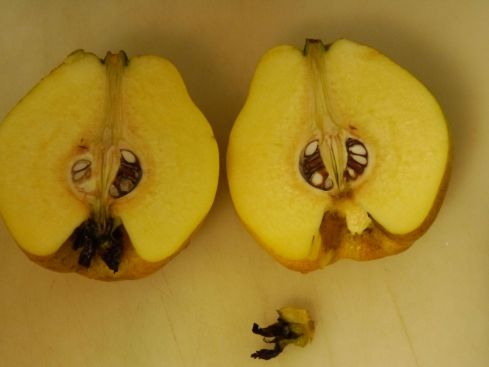 "When you chop the quince, remove the ""butt"" end, which is the expired flower, and the stem. The rest can be chopped up, including seeds and skin."