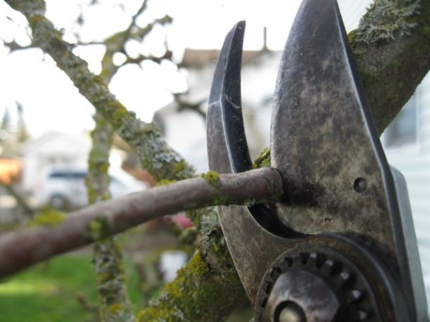 In action! I did a lot of pruning on my pear tree yesterday. With my sharp pruners, it was a cinch!