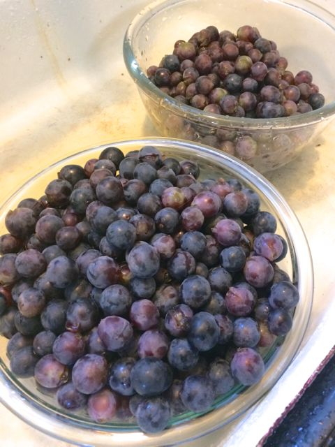 Concord grapes picked moments before. These were turned into jelly.